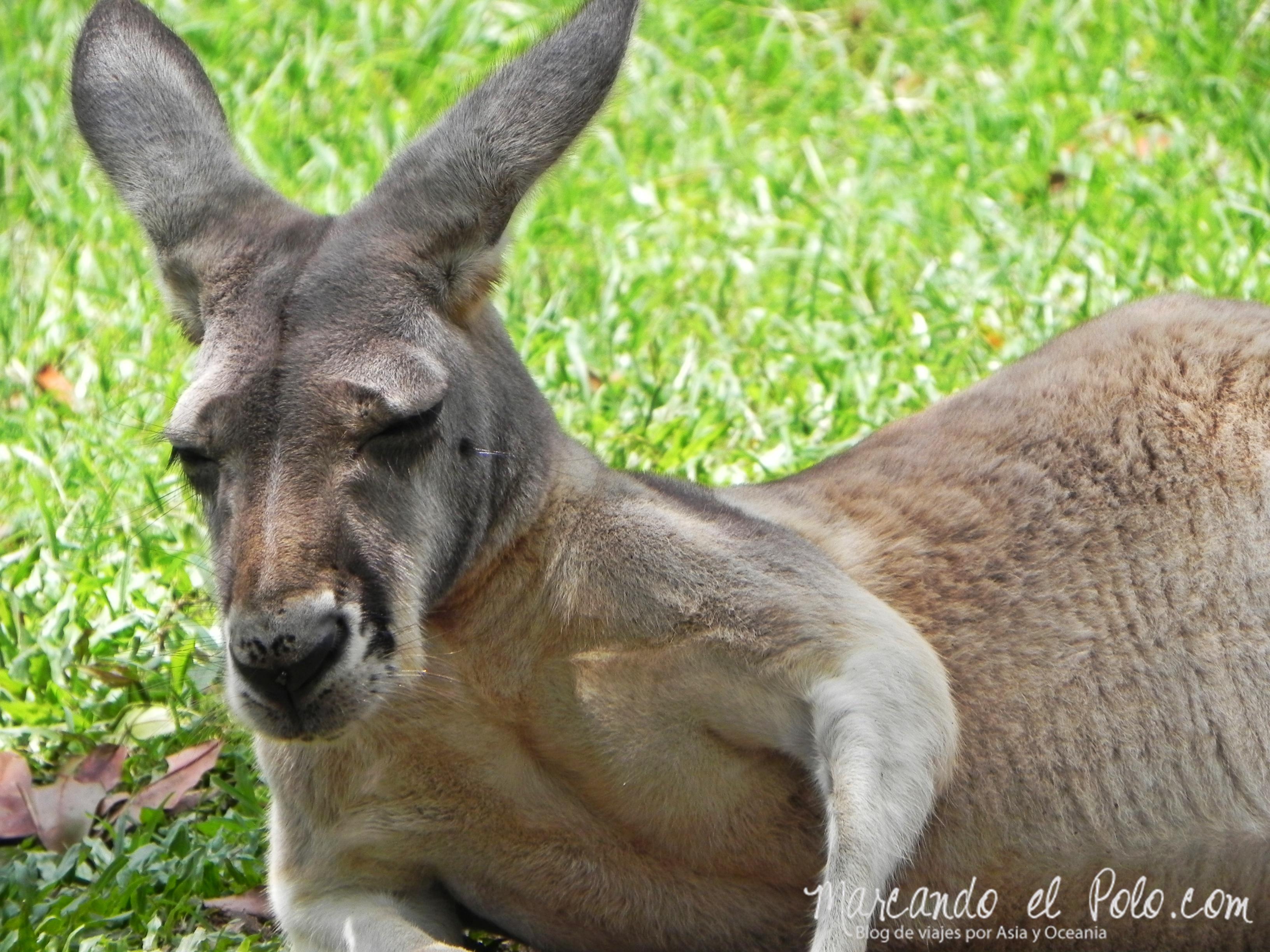 Viajar a Australia: canguros