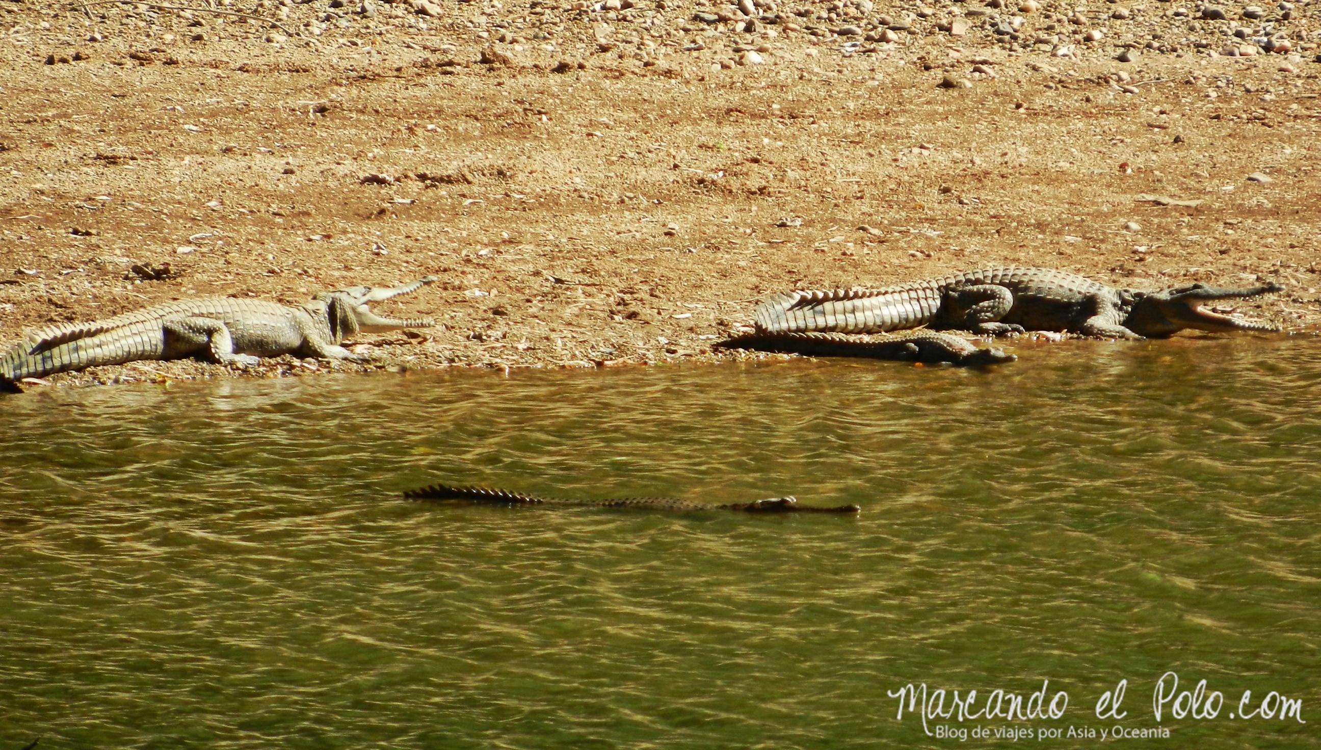 Viajar a Australia: cocodrilos
