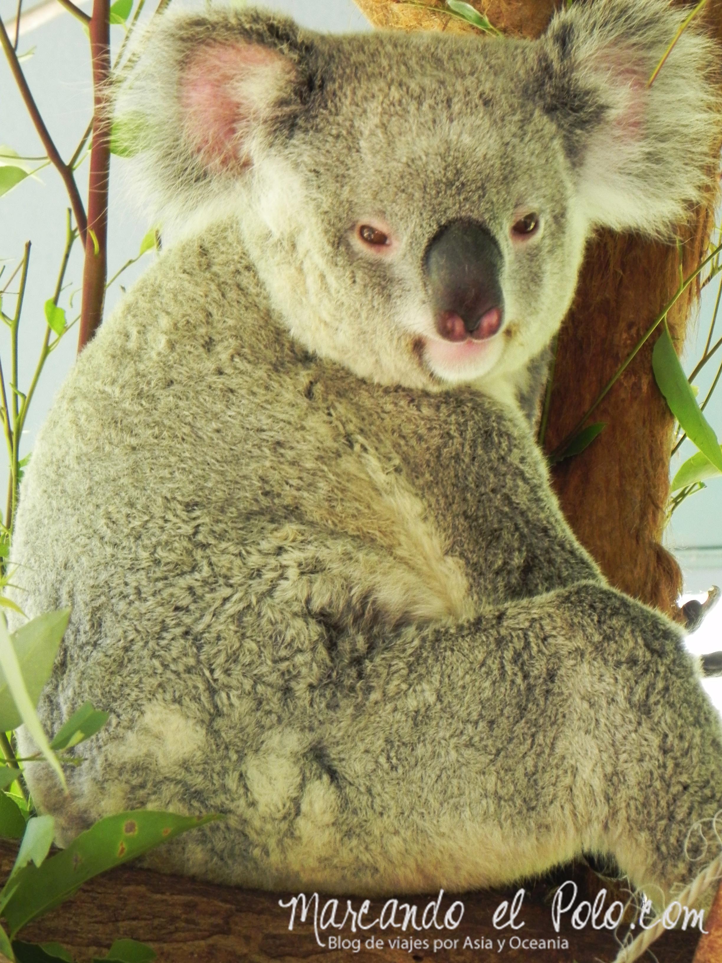 Viajar a Australia: koala