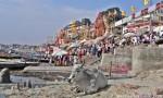 Vaca sagrada en el Ganges