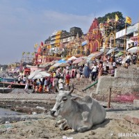 Vaca sagrada en el Ganges