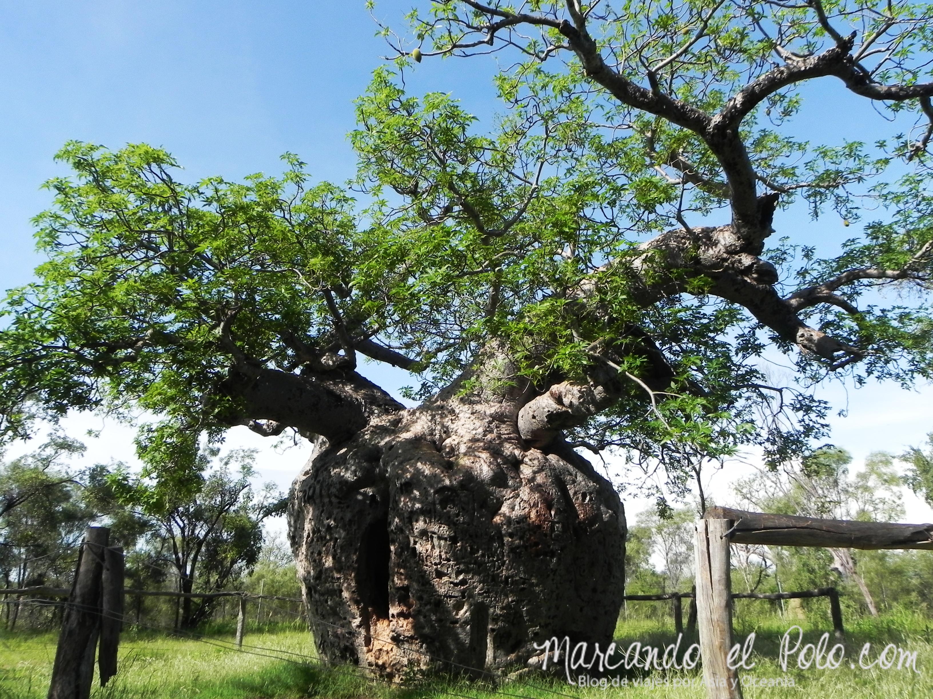 El lejano Oeste australiano: árbol prisión, Derby