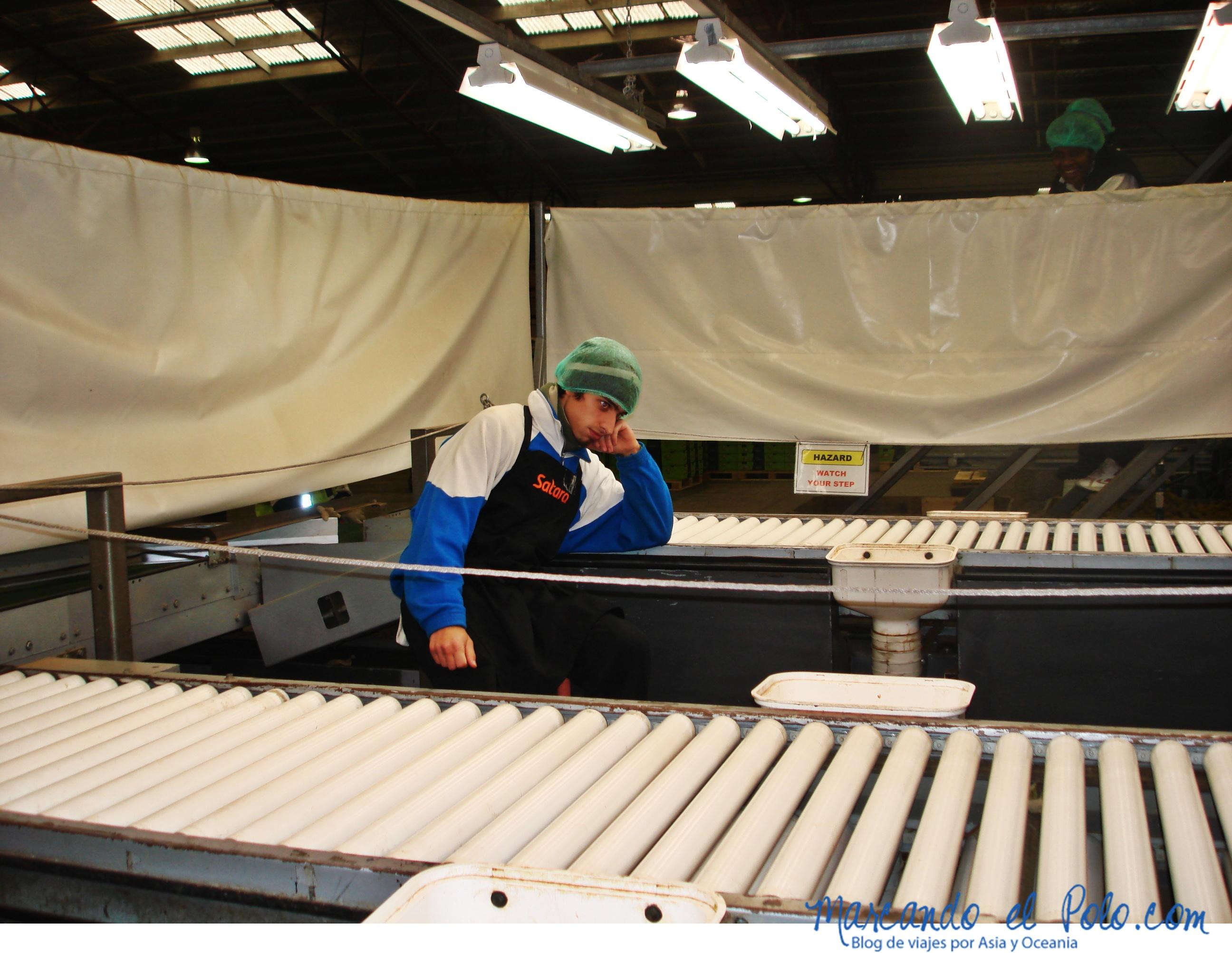 Trabajo en Nueva Zelanda: packhouse de kiwi