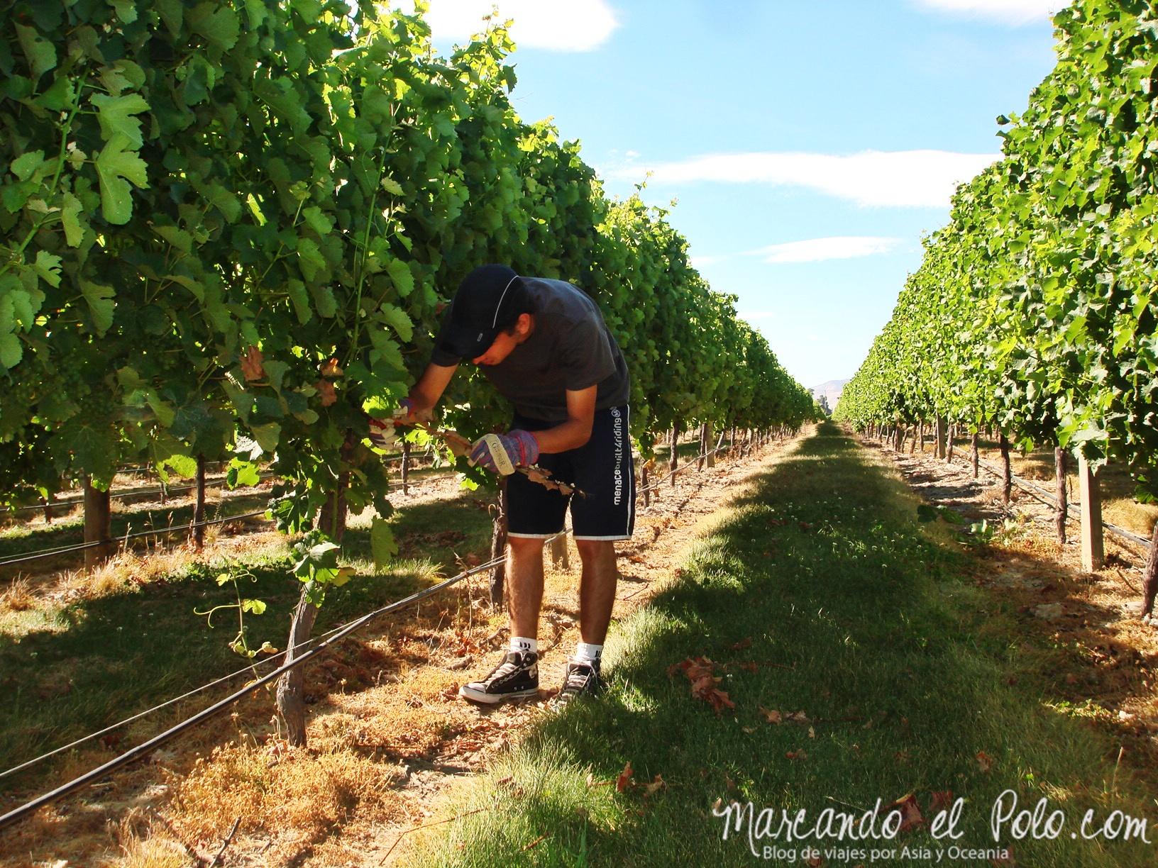 Trabajo en Nueva Zelanda: viñedo