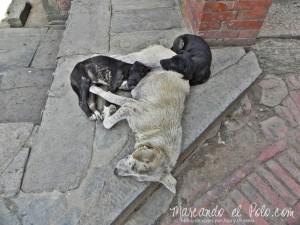 Viajar a Nepal - Perros del Valle de Katmandu
