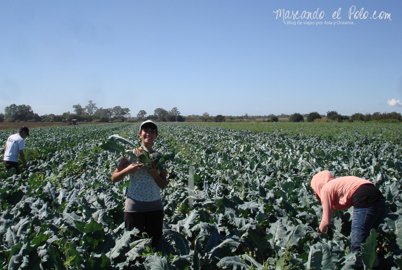Trabajo en Australia: Juntando brócolis en Gatton, Queensland.