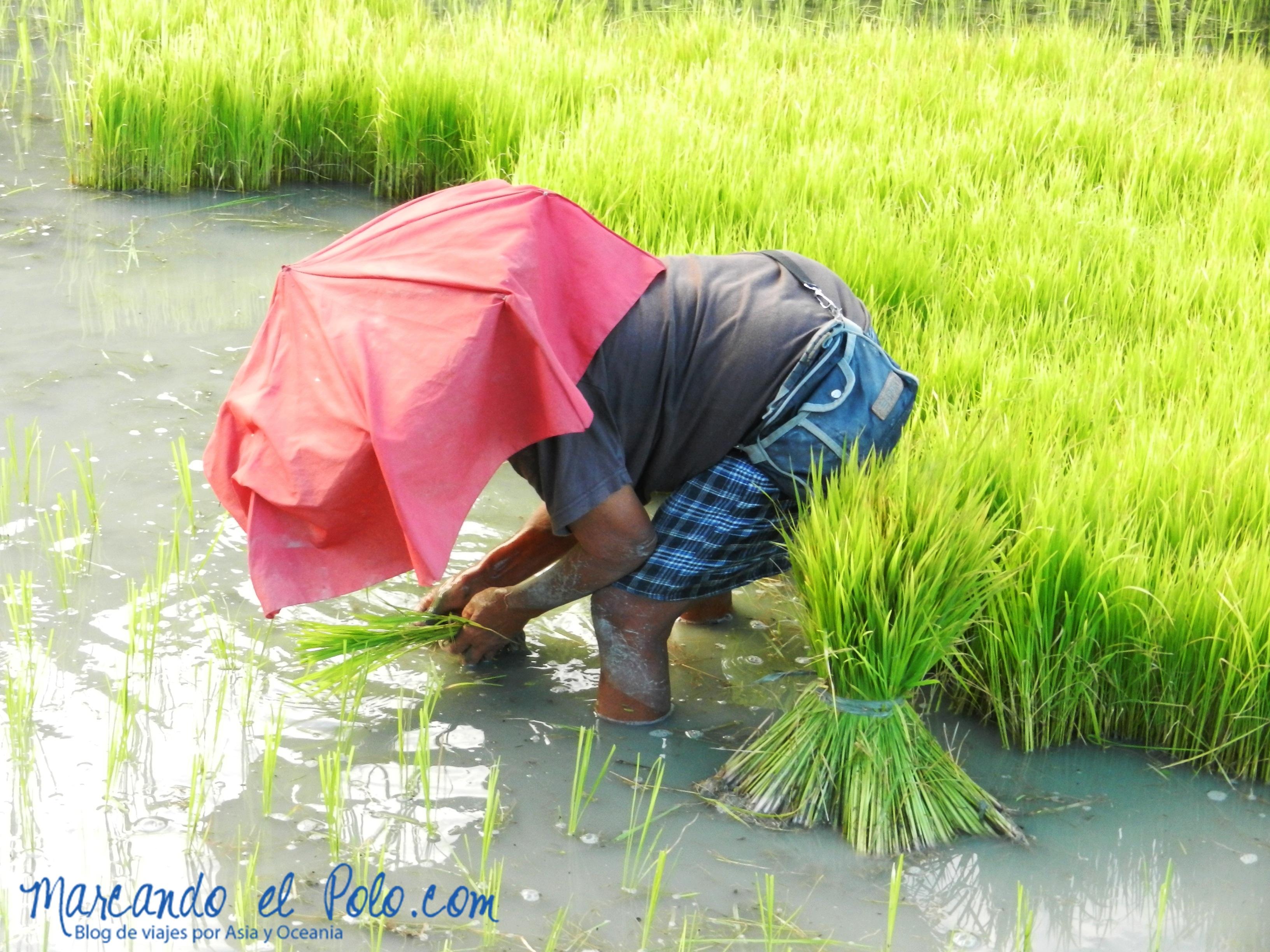 Terrazas de arroz en Filipinas: Otro día de trabajo