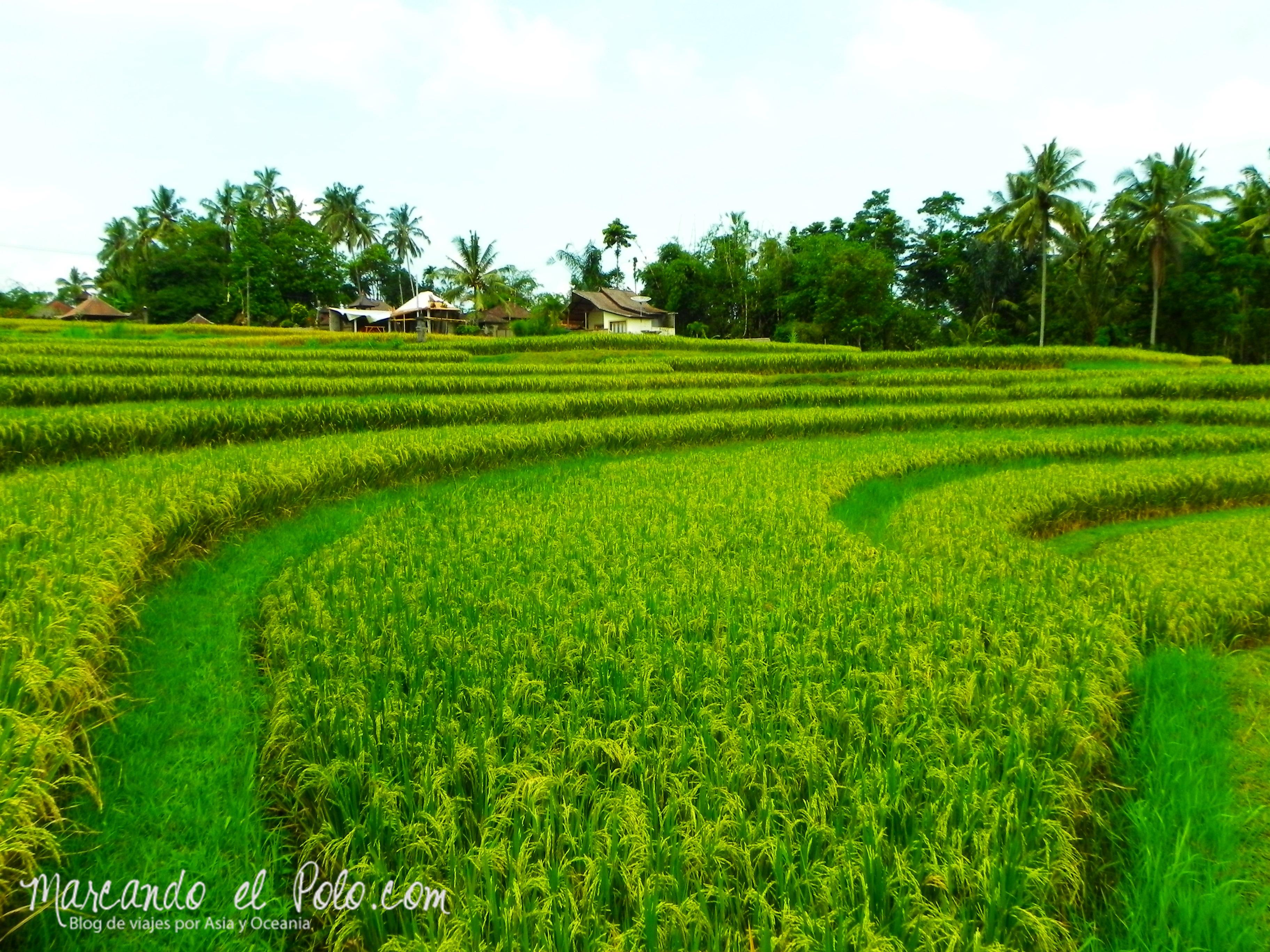 Que ver en Bali - Terraza de arroz en alrededores de Ubud
