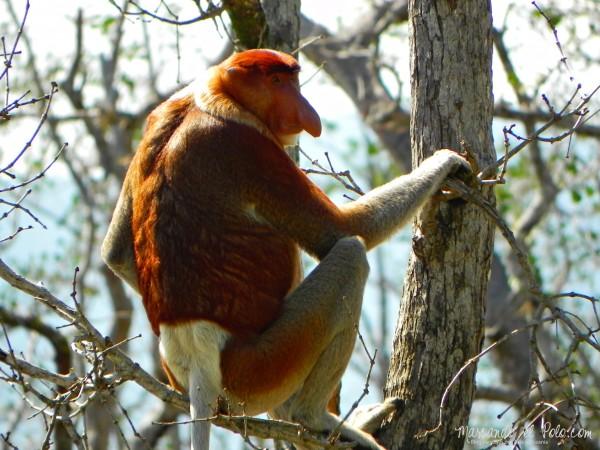 Itinerario viajar a Malasia: proboscis en Parque Nacional Bako
