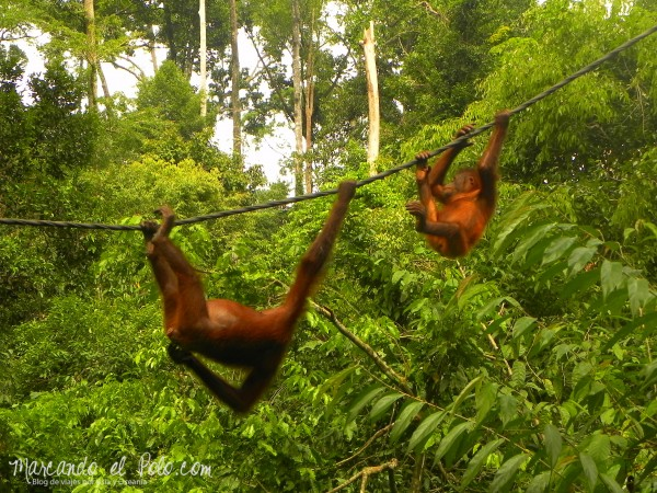 Itinerario viajar a Malasia: Madre e hijo Orangután en Sepilok