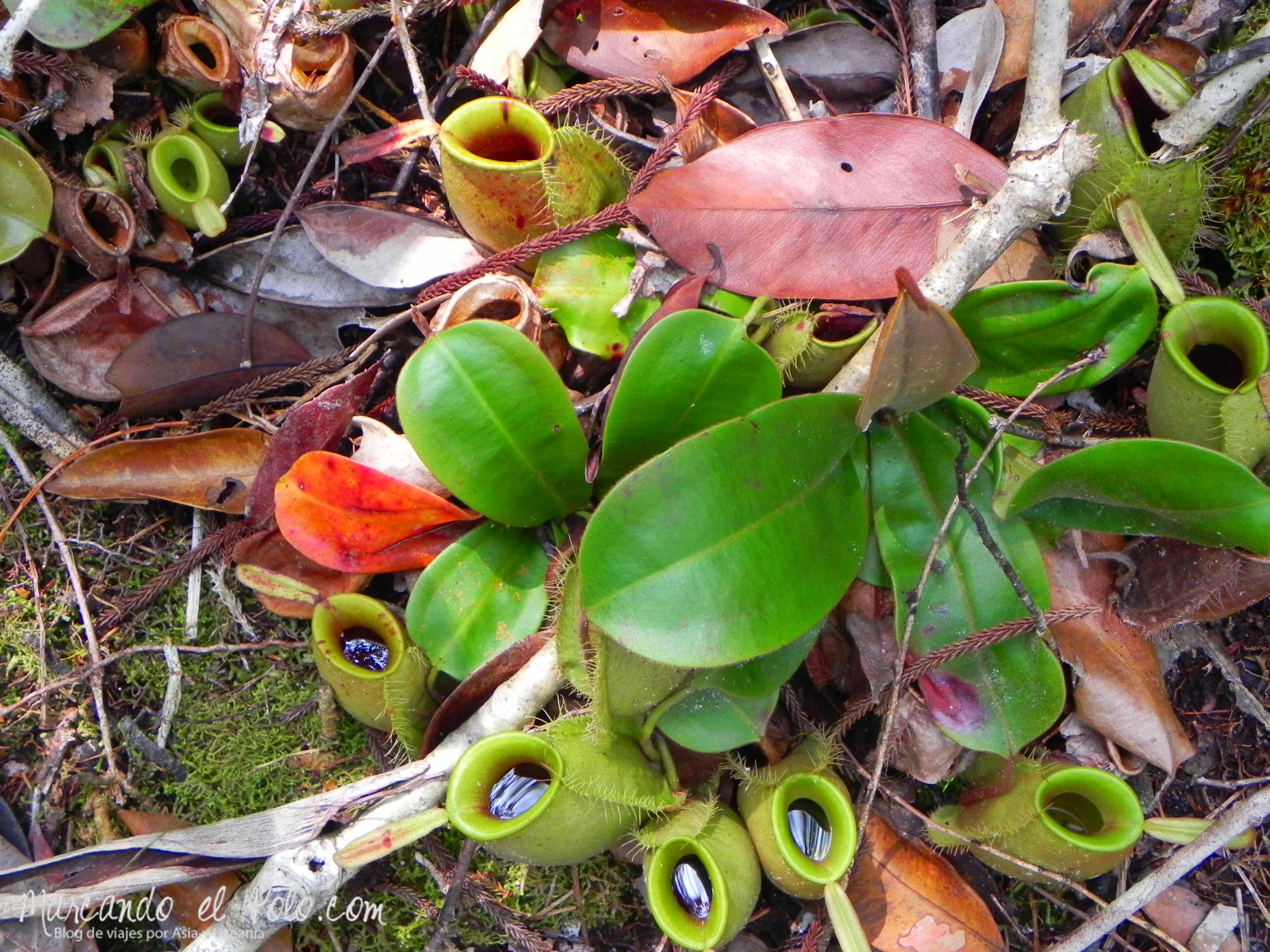 Itinerario viajar a Malasia: plantas carnívoras, Bako