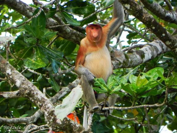 Itinerario viajar a Malasia: mono proboscis, Parque Nacional Bako