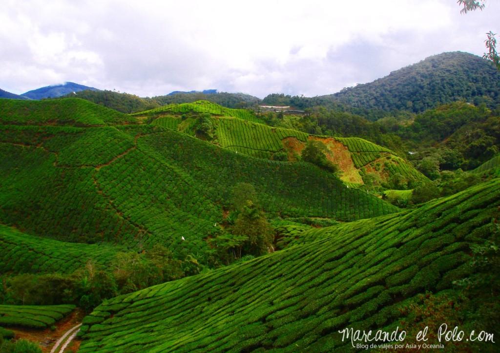 Itinerario viajar a Malasia: Plantación de té Boh, Cameron Highlands