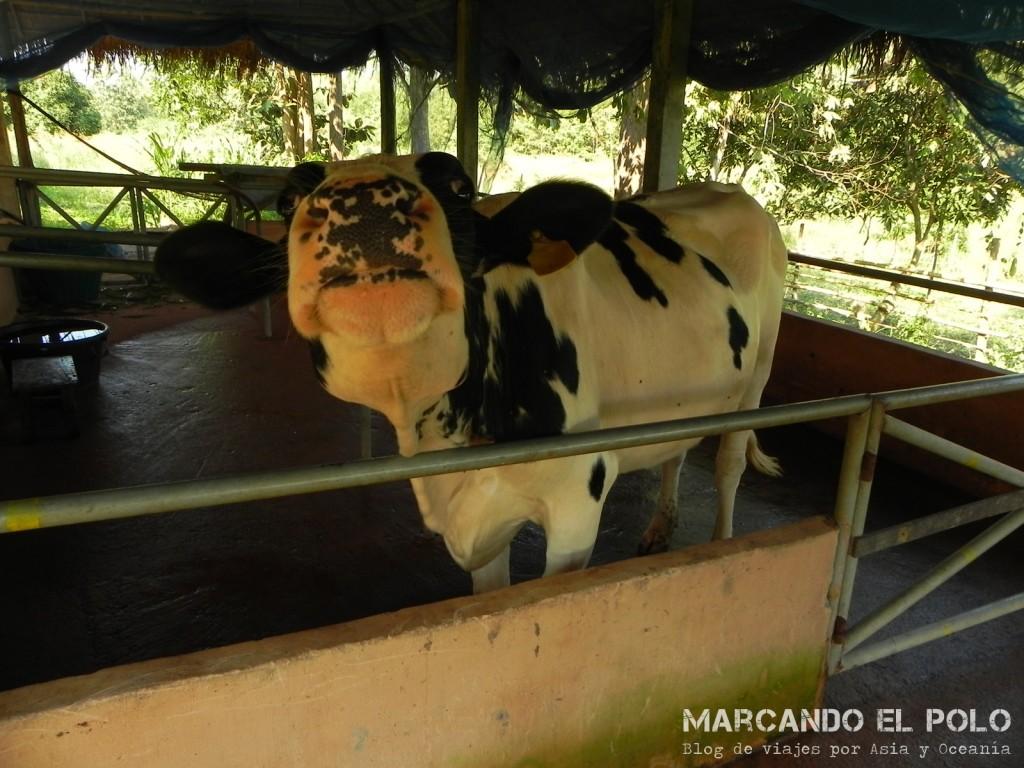 Blossom, la vaca que abastece al centro de leche...