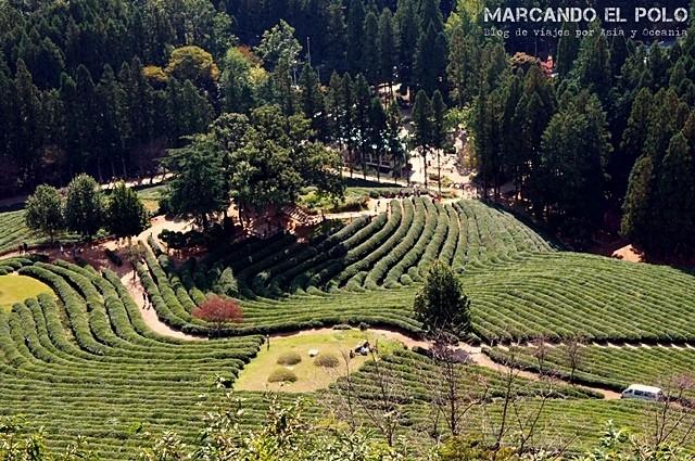 Boseong Tea Plantation
