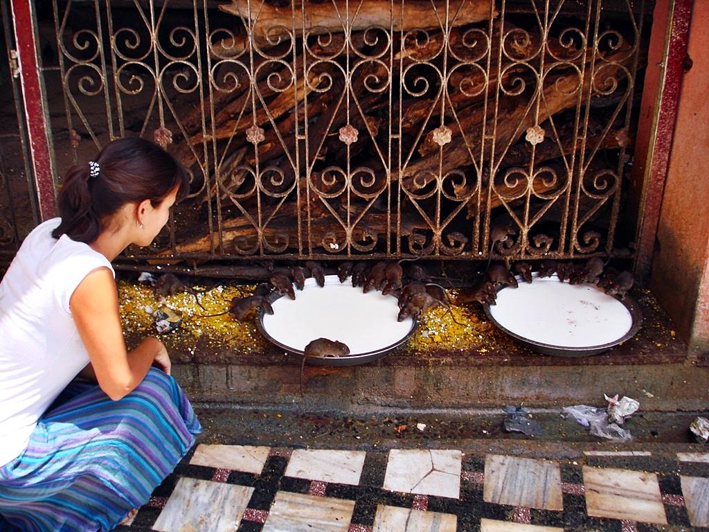 Amigándome con las ratas en el Templo Karni Mata, Bikaner