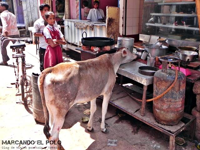 Salud en India - Vaca en Agra