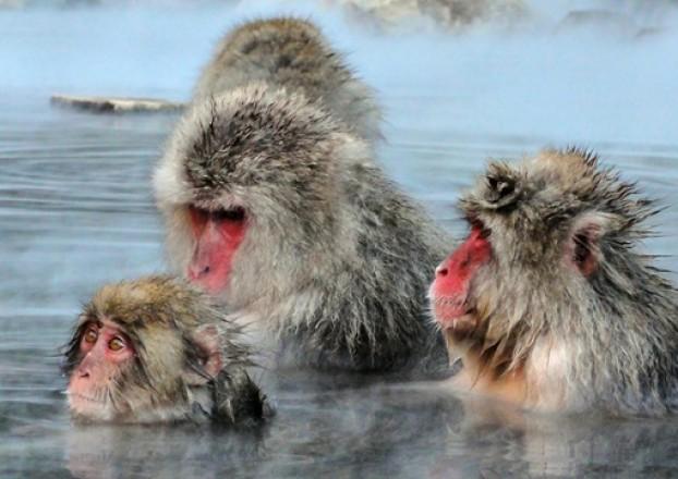 Viajar a Japon – Parque de los monos Jigokudani 3