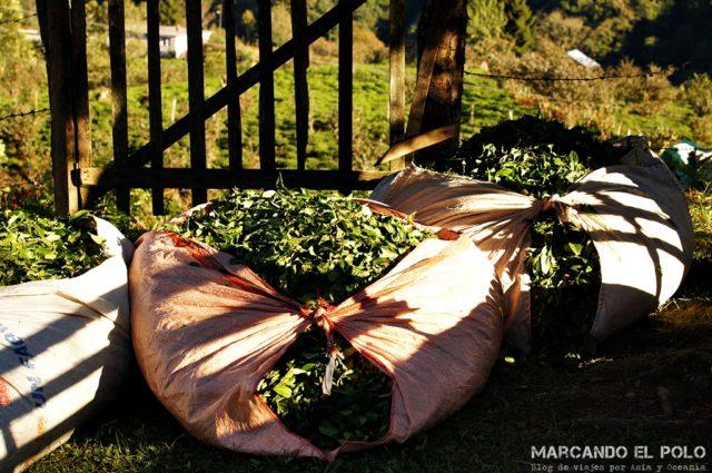 Curiosidades sobre el té turco: hojas de té