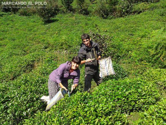 Curiosidades sobre el té turco: recolección en plantación